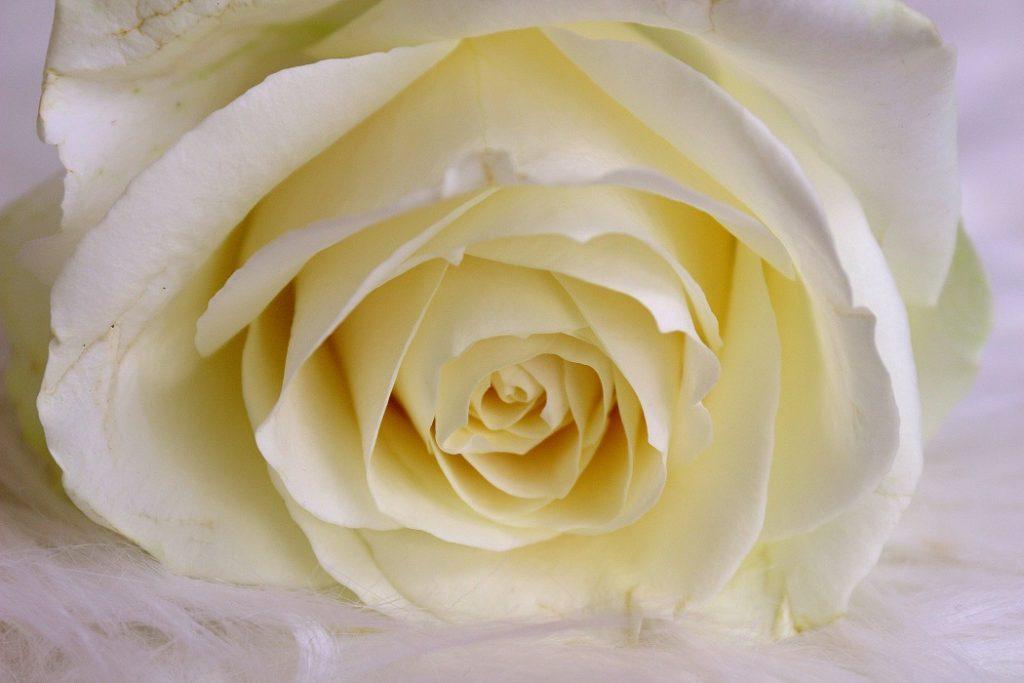 Photo de rose, la fleur.